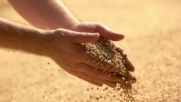 Male farmers hand grabbing and pouring grains.