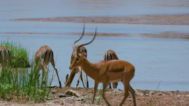 male & female impalas drinking samburu  kenya  africa - antilope stock-videos und b-roll-filmmaterial