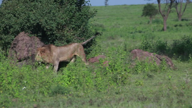 male & female lion walking - wiese stock videos & royalty-free footage