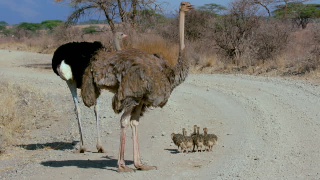 Male & Female Ostritch With Chicks Samburu  Kenya  Africa