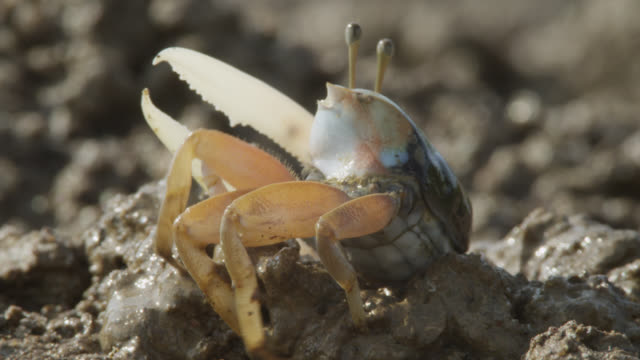 male fiddler crab (uca) builds mud burrow, darwin, australia - crab stock videos & royalty-free footage