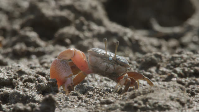 vidéos et rushes de male fiddler crab (uca) digs burrow on mud flats, darwin, australia - creuser