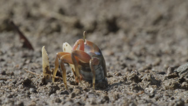 male fiddler crab (uca) leaves burrow, darwin, australia - crab stock videos & royalty-free footage