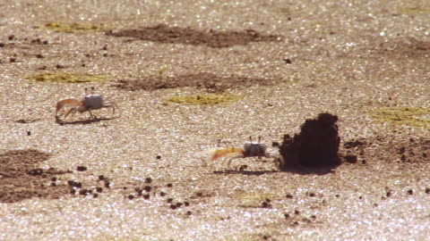 ms ts male fiddler crabs chase each other on sand waving their claws at punta culebra beach /  panama city, panama - small group of animals stock videos & royalty-free footage