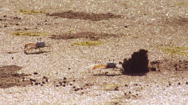 ms ts male fiddler crabs chase each other on sand waving their claws at punta culebra beach /  panama city, panama - other stock videos & royalty-free footage