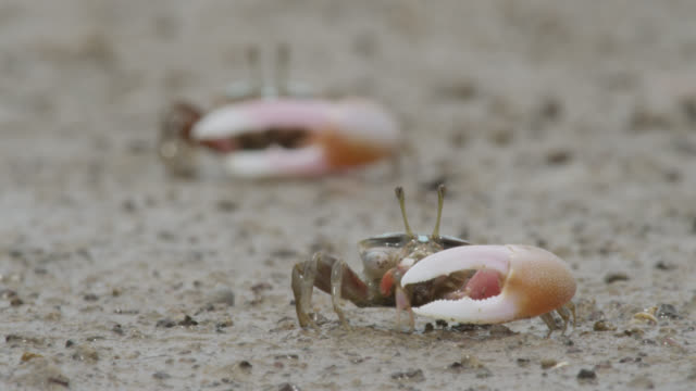 male fiddler crabs (uca) feed on mud flats, darwin, australia - small group of animals stock videos & royalty-free footage