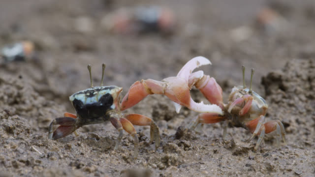 male fiddler crabs (uca) fight using enlarged claws, darwin, australia - crab stock videos & royalty-free footage