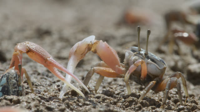 male fiddler crabs (uca) fight using enlarged claws, darwin, australia - claw stock videos & royalty-free footage