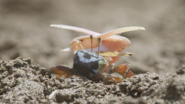 vidéos et rushes de male fiddler crabs (uca) fight using enlarged claws, darwin, australia - crabe