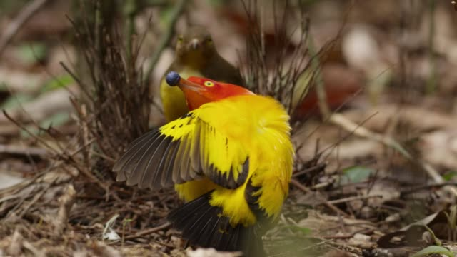 male flame bowerbird dances for female, papua new guinea - yellow stock videos & royalty-free footage