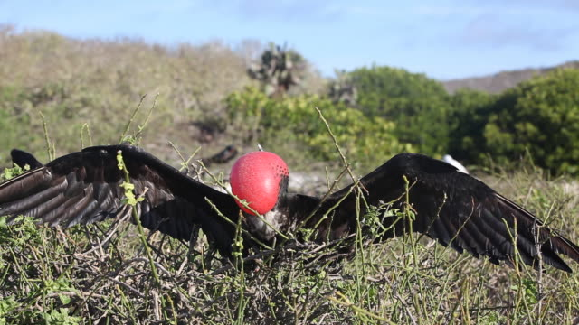 male frigate bird - showing off stock videos and b-roll footage