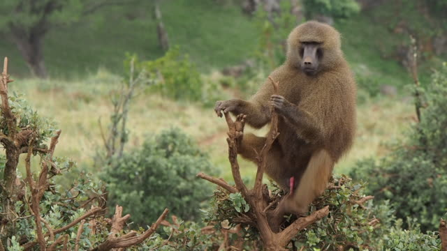 a male from guinea baboon scratches his fur and rests on the branch of a tree, and in a moment he stretches, opening his mouth and showing his enormous fangs. papio papio. - tierpenis stock-videos und b-roll-filmmaterial