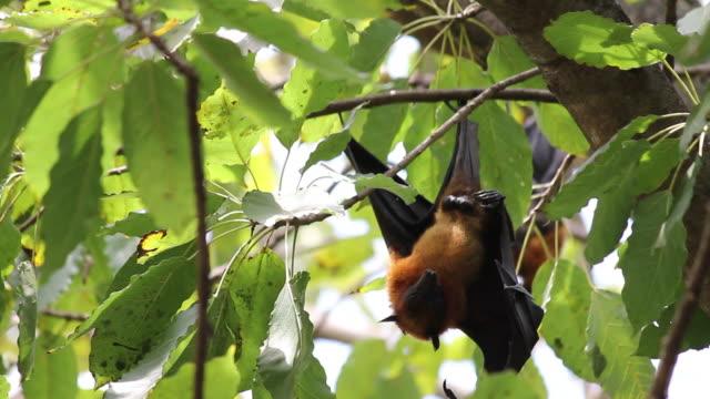 Männliche Obst Bats Hängen