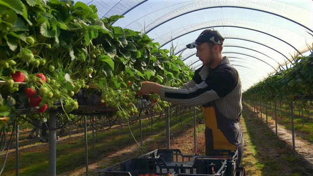 male fruit picker harvests strawberries in poly tunnel. - 農林水産関係の職業点の映像素材/bロール