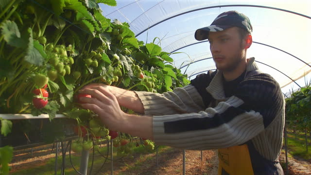male fruit picker harvests strawberries in poly tunnel. - farm worker stock videos & royalty-free footage