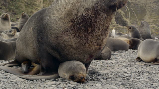 male fur seal mates with female, south georgia - insel south georgia island stock-videos und b-roll-filmmaterial