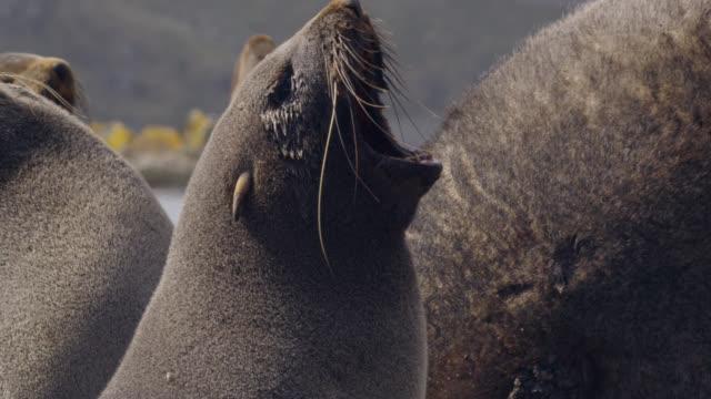 vídeos de stock e filmes b-roll de male fur seal stands guard over females, south georgia - foca