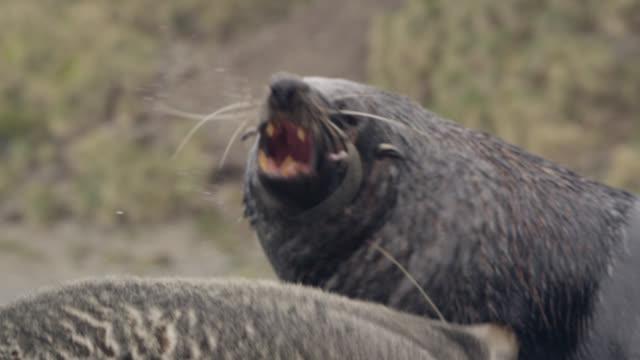 slomo male fur seals fight on beach, south georgia - morrhår bildbanksvideor och videomaterial från bakom kulisserna