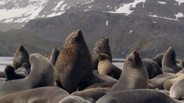 stockvideo's en b-roll-footage met male fur seals stand guard over females, south georgia - zuid georgia eiland