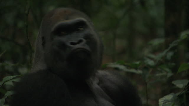 male g. g. gorilla calling its family in tropical jungle, congo basin, africa - animal call stock videos & royalty-free footage
