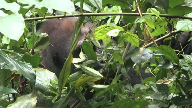 vidéos et rushes de male g. g. gorilla eating fruits in the bushes of tropical jungle - nez d'animal
