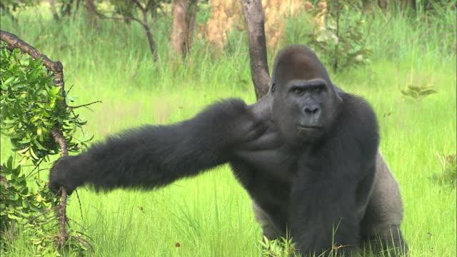 male g. g. gorilla grabbing a tree branch, lesio-louna wildlife reserve, congo, africa - animal head stock videos & royalty-free footage