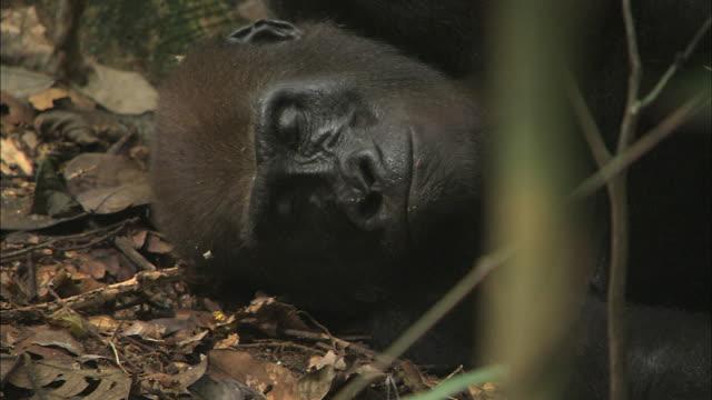 male g. g. gorilla lying in the tropical jungle of congo basin, africa - area selvatica video stock e b–roll
