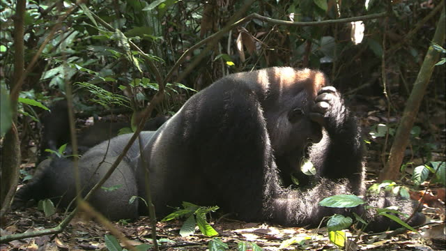 male g. g. gorilla lying on his belly and scratching his head - gorilla stock-videos und b-roll-filmmaterial