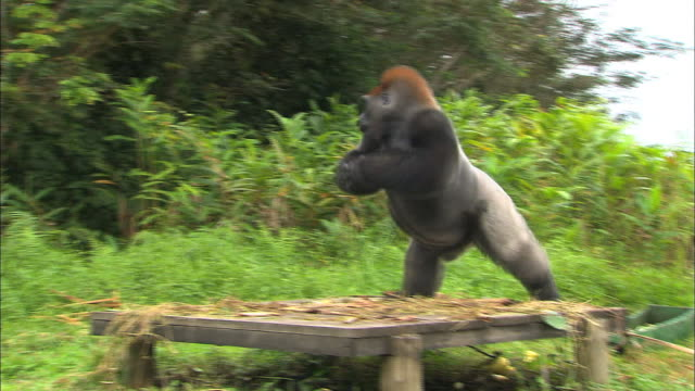 male g. g. gorilla running and beating his chest with his hands, lesio-louna wildlife reserve, congo, africa - gorilla stock-videos und b-roll-filmmaterial