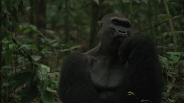 male g. g. gorilla sitting and resting its chin on its hand - hand on chin stock videos & royalty-free footage