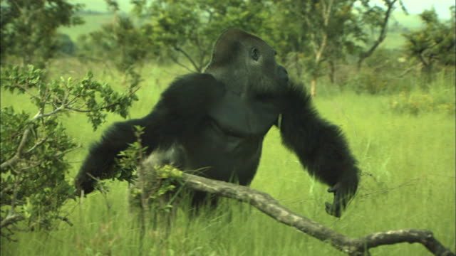 Male G. g. gorilla throwing away a tree branch, Lesio-Louna Wildlife Reserve, Congo, Africa