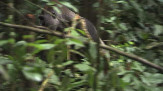 vidéos et rushes de male g. g. gorilla walking into the bushes of tropical jungle - bouche des animaux