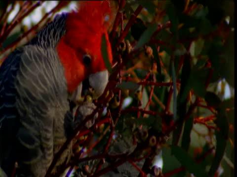 vidéos et rushes de male gang gang cockatoo chews at fruit in snow gum, victoria, australia - bouche des animaux
