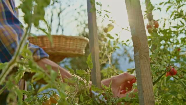 vídeos y material grabado en eventos de stock de jardinero macho recogiendo tomates cherry en su jardín bajo el sol - cesta