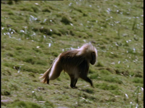 stockvideo's en b-roll-footage met male gelada runs left to right, ethiopian highlands - hoorn van afrika
