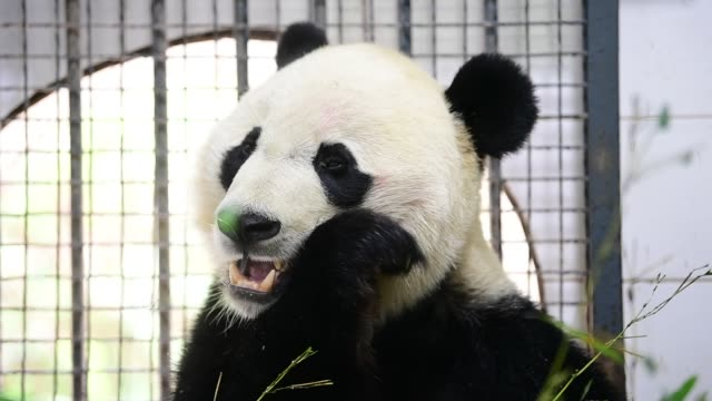 male giant panda bei bei makes its first appearance after arriving at the bifengxia panda base of china conservation and research center for the... - panda stock-videos und b-roll-filmmaterial