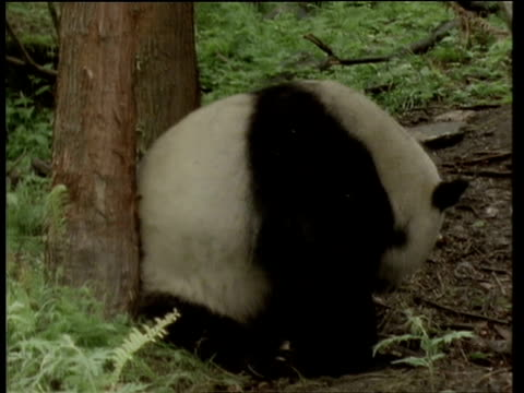 male giant panda scent marks by rubbing his behind on a tree - rubbing stock videos & royalty-free footage