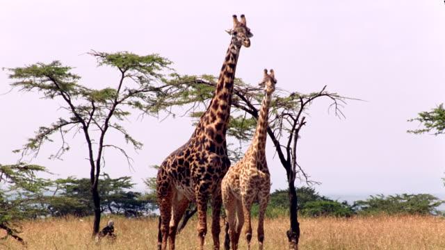 MS PAN Male giraffe standing behind female giraffe near trees / Masai Mara, Kenya
