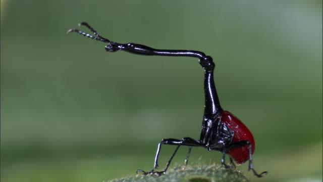 Male giraffe weevil (Trachelophorus giraffa) beetle takes off from leaf, Madagascar