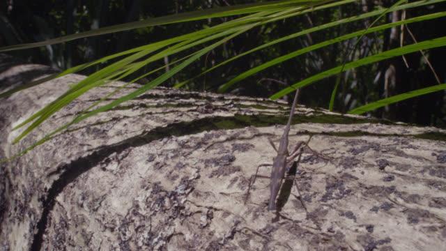 Male giraffe weevil (Lasiorhynchus barbicornis) walks along branch in forest, New Zealand