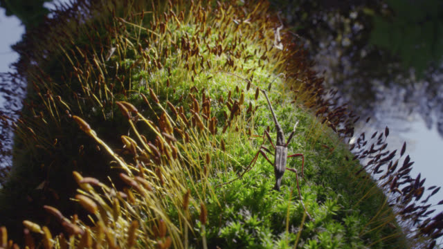 male giraffe weevil (lasiorhynchus barbicornis) walks over moss in forest, new zealand - moss stock videos & royalty-free footage