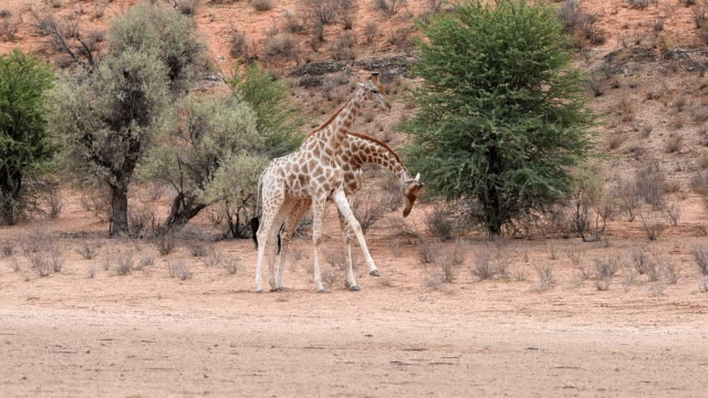 Male giraffes jousting