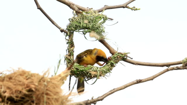 male golden weaver make a nest. - animal nest stock videos and b-roll footage