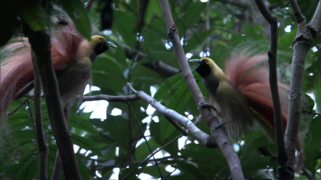 male goldie's bird of paradise (paradisaea decora) call in forest, papua new guinea - communication stock videos & royalty-free footage