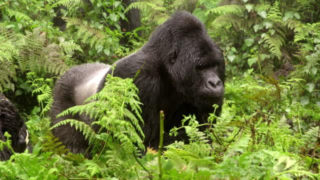 Male gorilla eating