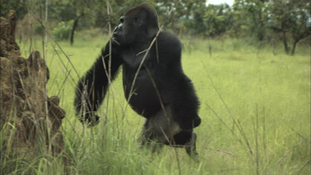 male gorilla running and crashing a termite mound, lesio-louna wildlife reserve, congo, africa - punching stock videos & royalty-free footage
