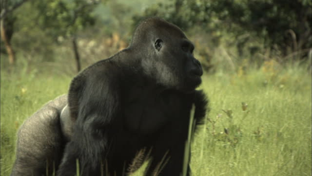 male gorilla running and grabbing a tree branch, lesio-louna wildlife reserve, congo, africa - gorilla stock-videos und b-roll-filmmaterial