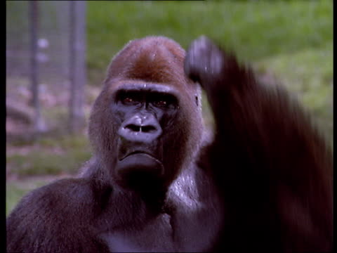 stockvideo's en b-roll-footage met a male gorilla scratches his head as he looks at the camera. - verwarring