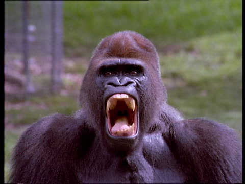 a male gorilla vocalizes in an intimidating way. - aggression bildbanksvideor och videomaterial från bakom kulisserna