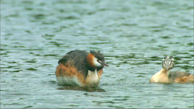 male great crested grebe dropping off his chick on his back, sihwa lake wetlands (artificial marsh created for ecosystem restoration), ansan, kyonggi-do province, south korea - kyonggi do province stock videos and b-roll footage